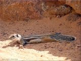 """<h5>Blickfang</h5><p>""""Fellhörnchen"""" auf Fuerteventura 2018</p>"""